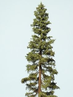 Redwood trees and ground layout. - Model Railroader Magazine - Model Railroading, Model Trains, Reviews, Track Plans, and Forums