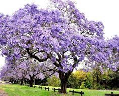 Paulownia tomentosao paulownia imperial es un árbol frondoso, perteneciente a la familia de las Paulowniaceae.El árbol Kiri, es originario de China y también conocido como árbol Emperatriz. Suele crecer hasta.