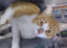 Baby (FIV+), come say hello to this handsome young male, nicknamed Baby because he is such a sweetheart!