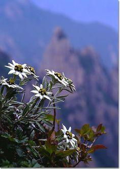 edelweiss petites fleurs des montagnes fleurs de montagne pinterest bonheur neige et. Black Bedroom Furniture Sets. Home Design Ideas
