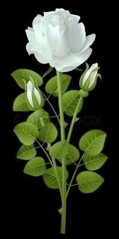 White rose on a black background Beautiful Rose Flowers, Beautiful Flowers Pictures, Beautiful Flowers Wallpapers, Flowers Nature, Flower Pictures, Exotic Flowers, Amazing Flowers, Pretty Flowers, White Flowers