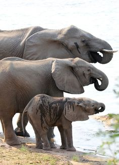 Elephant family at the watering hole Amor Animal, Mundo Animal, Elephant Family, Elephant Love, Animals And Pets, Baby Animals, Cute Animals, Beautiful Creatures, Animals Beautiful