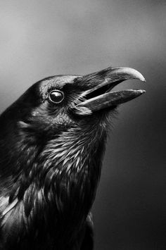 Crow by Serena Druid (though it looks more like a raven to me). << that's because it IS a raven. The Crow, Quoth The Raven, Raven Bird, Crow Art, Bird Art, Beautiful Creatures, Beautiful Birds, Animals Beautiful, Regard Animal