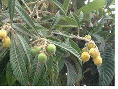 Picture of Loquat fruit trees.JPG