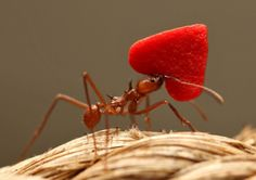 ants and hearts - Google Search Insect Art, Ants, Strawberry, Fruit, Google Search, Food, Ant, The Fruit, Meals