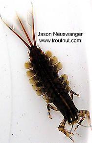 Suborder: Pannota - Family: Isonychiidae