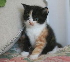 Black,white & orange kitten. Love its' colouring