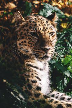 leopard desvre animals