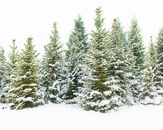 Holiday 2016 Snowy Pines Winter Forest Art by cottagelightstudio