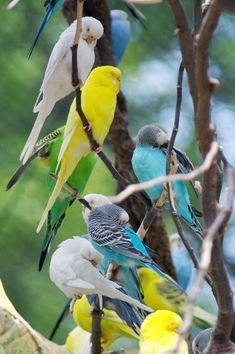 If you are thinking about getting a pet. You should pick parakeets. Thay are awesome pets. Thay are easy to clean up after. Thay are beautiful. Thay fun to play with. And thay so loving and sweet <3