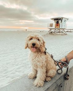 Dog And Puppies Labradoodle .Dog And Puppies Labradoodle Cute Baby Animals, Animals And Pets, Funny Animals, Funny Dogs, Cute Dogs And Puppies, I Love Dogs, Doggies, Yorkie Puppies, Cute Creatures
