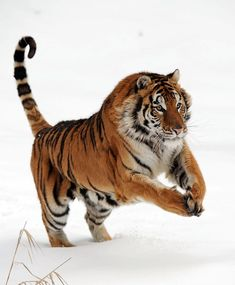 """beautiful-wildlife: """" Male Siberian Tiger by Jacki Just-Pienta """" Big Cats, Cool Cats, Cats And Kittens, Big Animals, Animals And Pets, Beautiful Cats, Animals Beautiful, Gato Grande, Tiger Love"""