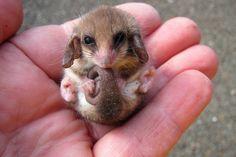 Pygmy Possum, little animal, cute and very small. Hele kleine dieren. Schattig