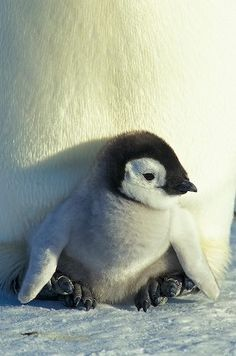My love for penguins! Baby Emperor Penguin so adorable Baby Animals, Cute Animals, Penguin Love, Penguin Baby, Most Beautiful Birds, Baby Penguins, Pet Loss, All Gods Creatures, Cute Animal Pictures