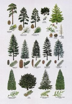 Definitely want to line part of the backyard with evergreen cypress trees -- bec. - Definitely want to line part of the backyard with evergreen cypress trees — because their conical - Conifer Trees, Trees And Shrubs, Trees To Plant, Larch Tree, Deciduous Trees, Types Of Pine Trees, Types Of Christmas Trees, Illustration Botanique, Landscaping Trees