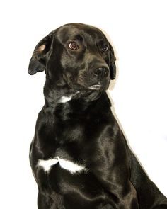 ***SUPER URGENT!!!*** - PLEASE SAVE ME!! - EU DATE: 7/14/2014 -- 14-018  Breed: Labrador Retriever (mix breed) Age: Adult Gender: Male  Size: Large,  - Located in Tawas City, MI - Please visit dogsindanger.com for adoption info.