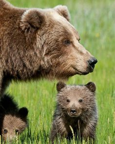 "Bear Cub: ""Mom! What on earth is that over there?!"" 🔸🔸🔸🔸🔸🔸🔸🔸🔸🔸🔸🔸🔸🔸🔸 🔴If you want to buy fantastic 🔝Bear 👕  T-SHIRTS and hoodies, Check the link in my bio (profile) ➡ @we_love_bear_ 🌍 International shipping!✈ 💯 100% Satisfaction Guaranteed! 🎁 Perfect gift for your family members and friends 🔸🔸🔸🔸🔸🔸🔸🔸🔸🔸🔸🔸🔸🔸🔸 📷 from bluegemveronica on Pinterest 🤗 Double  Tap & Tag your friend below ⤵"