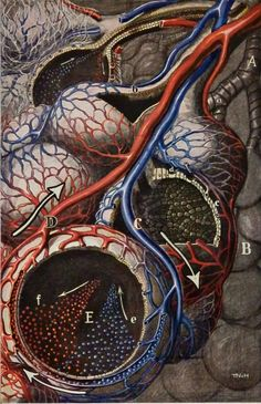 FRITZ body as by CastafioreOldPrints Science Illustration, Medical Illustration, Art Bin, Heart And Lungs, Things Under A Microscope, Cool Art, Awesome Art, Astrophysics, Anatomy And Physiology