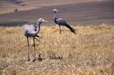 - Blue Cranes with hatching egg and chick in the Overberg, Western Cape, South Africa Storks, Herons, Wild Life, Crane, South Africa, Flora, Egg, African, Birds