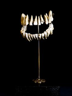 "This set of human teeth is part of an ""exploded skull"", a very old mount that the museum probably acquired from a biological supply company in the late 19th or early 20th century. Photo by Alec Jacobson."