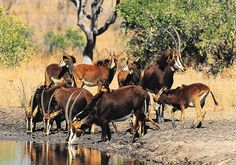 Sable Antelope - South Africa by South African Tourism, via Flickr