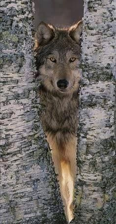 Gray Wolf Near Birch Tree Trunks, Canis Lupus, MN Photographic Print by William Ervin - by AllPosters. Wolf Spirit, My Spirit Animal, Wolf Pictures, Animal Pictures, Nature Pictures, Beautiful Creatures, Animals Beautiful, Tier Wolf, Animals And Pets