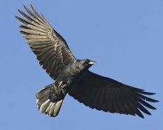 American Crow   American Crow Corvus brachyrhynchos Common Crow, Common Birds, The Crow, Quoth The Raven, Raven Bird, Crow Flying, Le Totem, American Crow, Wild Photography