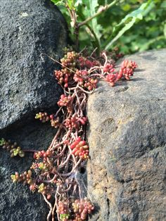 Sedum pachyphyllum (I think) clinging to a sunny spot in a drystone wall in the middle of Bradford, England.