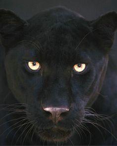 black panther (Panthera pardus)   Black Leopard Panthera Pardus Pictures