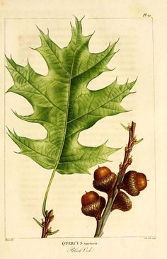 1 - The North American sylva; or, A description of the forest trees of the United States, Canada, and Nova Scotia . 1840 / - Black Oak, illustrations by Redoute Illustration Botanique, Leaf Illustration, Floral Illustrations, Leave In, Oak Leaves, Plant Leaves, White Oak Leaf, Decoupage, Forest Pictures
