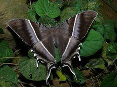 Tropical Swallowtail Moth (Lyssa zampa) Kinabalu NP, Sabah, MALAYSIA