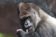 National Geographic Your Shot Gorilla Gorilla Gorilla, National Geographic Photos, Your Shot, Amazing Photography, Animals, Animales, Animaux, Animal, Animais