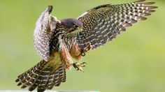 The New Zealand falcon, or karearea, attack by making fists with their feet and dive-bombing other birds.