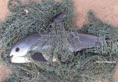 Vaquitas are cute, timid aquatic mammals that look like tiny dolphins, but deadly fishing means there are only 30 left! We have a plan to save them - click to read how and add your name!