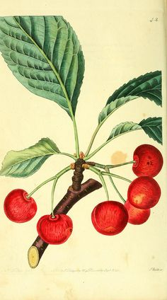 Cherries, The Pomological magazine,  London; J. Ridgway
