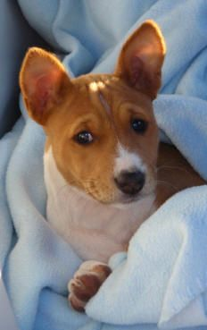 Pitbull Puppies For Sale, Baby Puppies, Dogs And Puppies, Online Pet Supplies, Dog Supplies, Basenji Puppy, Whippets, Rat Terrier Mix, Rat Terriers