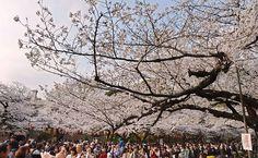 Pessoas caminham sob cerejeira totalmente florescida em Tóquio
