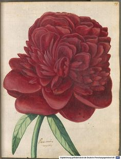 Paeonia, Hortulus Monheimensis, 1615. South of Germany. © Bayerische Staatsbibliothek
