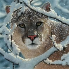 Cougar - wouldn't mind seeing one of these in the wild (from a safe distance of course!)
