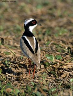 Pied lapwing (Vanellus cayanus) a.k.a. the pied plover, is a species of bird in the Charadriidae family. It is a strongly marked bird with a prominent black V on its mantle.