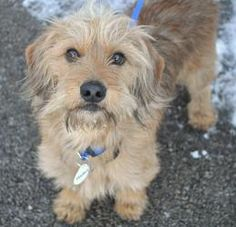 Needles-FosterHomeNeeded is an adoptable Wirehaired Terrier Dog in Hartland, WI. Please take time to read this ENTIRE listing, including clicking on the 'Read More About This Pet' link located below. ...