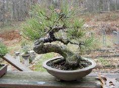 Resultado de imagem para ponderosa pine bonsai