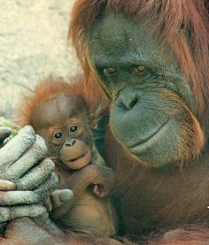 A new baby orangutan at the Gladys Porter Zoo in Texas is pictured with its mother. The baby represents the third generation of orangutans at the zoo. Awesome!