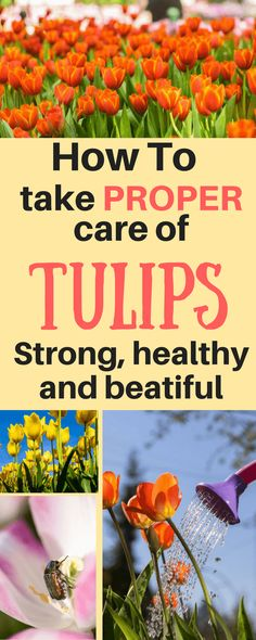 Today, we're dealing with flowers. Let me show you how to care for tulips, and you won't forget anything next time you grow these wonderful guys. #garden#gardening#tulip#flowers#growyourmint.com