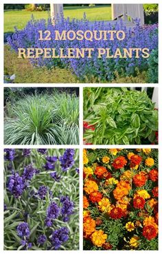 mosquito repelling plants for your garden are lavender marigolds citronella grass catnip rosemary basil scented geraniums and more Their leaves and flowers emit smells th. Plants That Repel Bugs, Sun Plants, Cool Plants, Potted Plants, Plants For Planters, Tropical Plants, Hanging Plants, House Plants, Farming