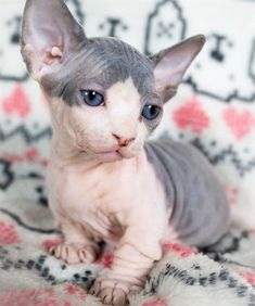 Sphynx Cat The Sphinx cat was born for the first time when a domestic black and white pet fur cat was born in Toronto, Canada. Cute Cats And Kittens, Kittens Cutest, Big Cats, Beautiful Cats, Pretty Cats, Spinx Cat, Bambino Kitten, Cute Hairless Cat, Chat Sphynx