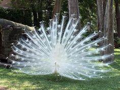 beautiful albino peacock-looks like a living snowflake!