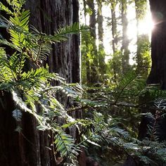 Caliparks : Henry Cowell Redwoods State Park Local Parks, Park Photos, Park City, Regional, State Parks, California, Plants, Instagram, The California