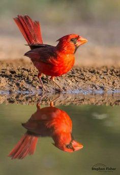 ショウジョウコウカンチョウ (猩々紅冠鳥)  Northern Cardinal (Cardinalis cardinalis)male
