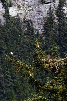 ALASKA BALD EAGLE, NEST, AND JUVENILE EAGLE -- Do you love eagles and observing wildlife?  Learn where and when to travel for great global hotspots, perfect for travelers, photographers, and families, who love wildlife viewing and unique nature events at http://www.examiner.com/article/great-global-hotspots-for-wildlife-travelers-and-photographers